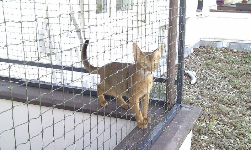 Abessinier Kater mit Katzennetz auf Balkon