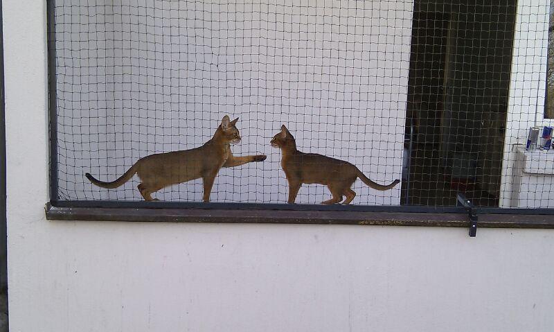 Abessinierkatzen im Katzengehege auf Balkon