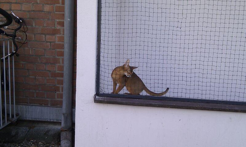 Abessinier Kater im Katzengehege auf Balkon