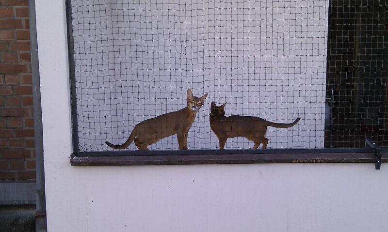 Abessinier Kater mit Katzennetz auf Balkon Duesseldorf