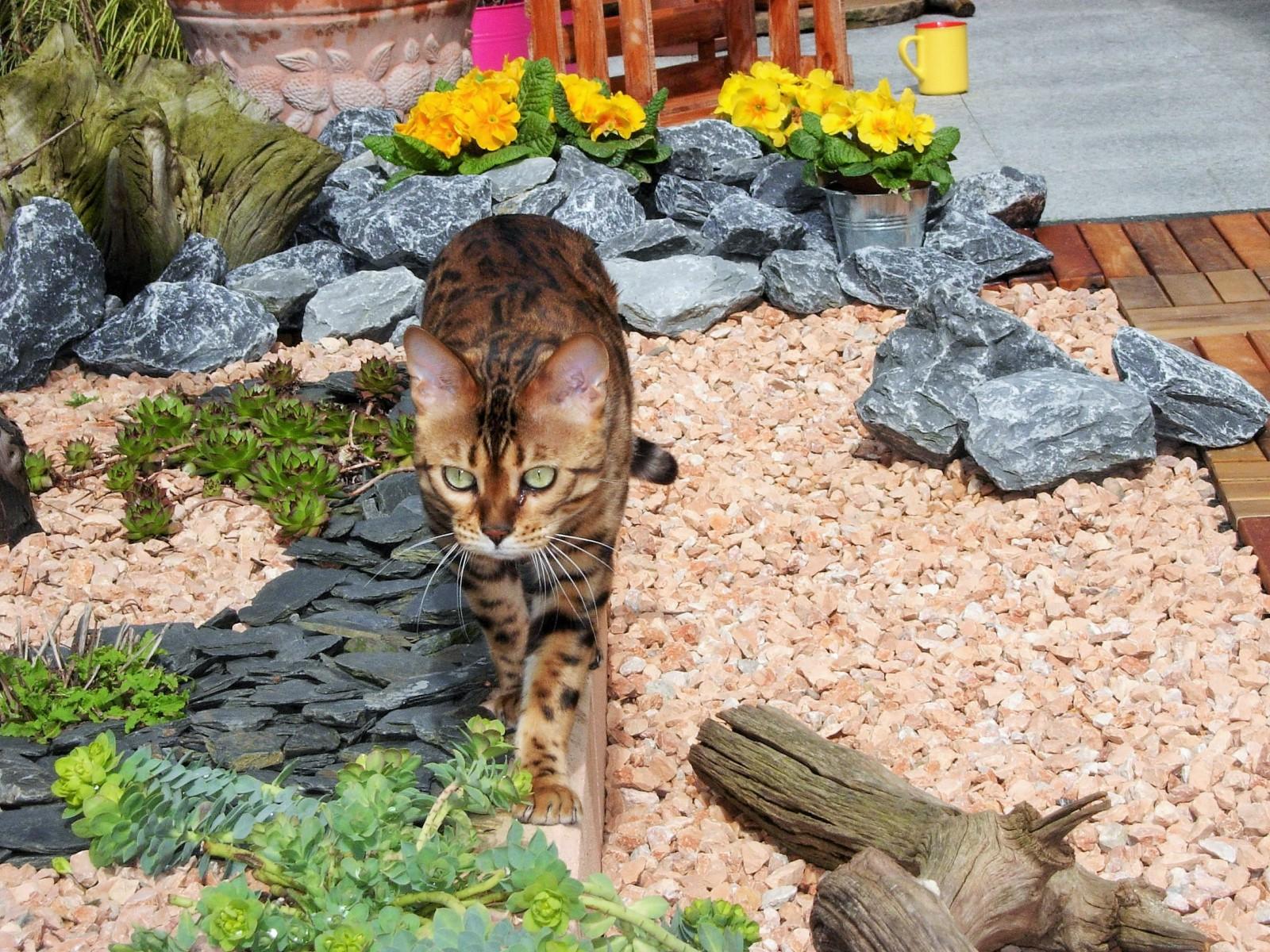 Bengal Katze im Gartengehege