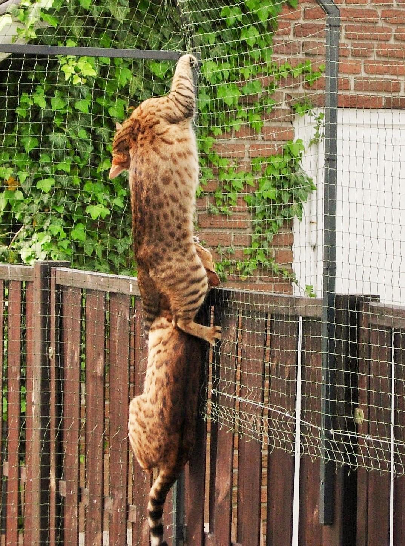 Bengalen klettern am Katzennetz