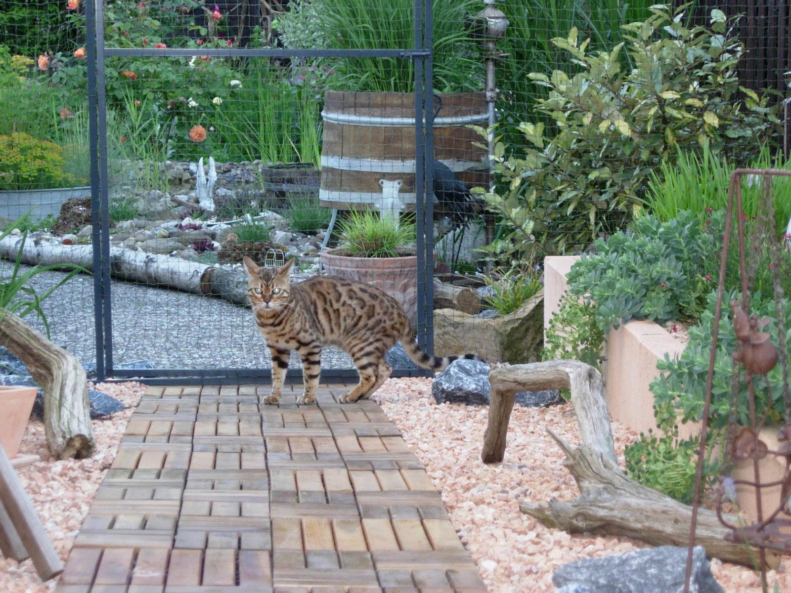 Katzennetz Bengalkatze
